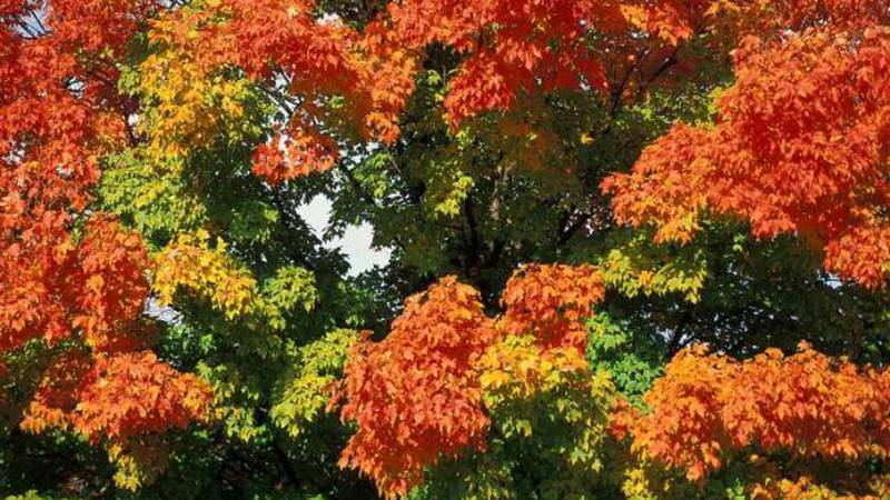 Sugar maple fall colors.