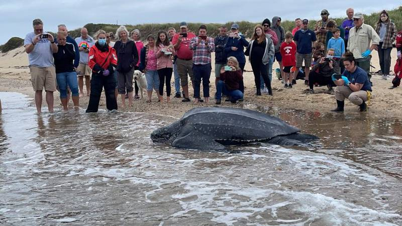 Organizations join together to save a sea turtle after it was stranded on Cape Cod.