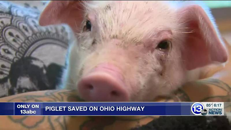 He was rescued by a Good Samaritan and taken to a Toledo area sanctuary