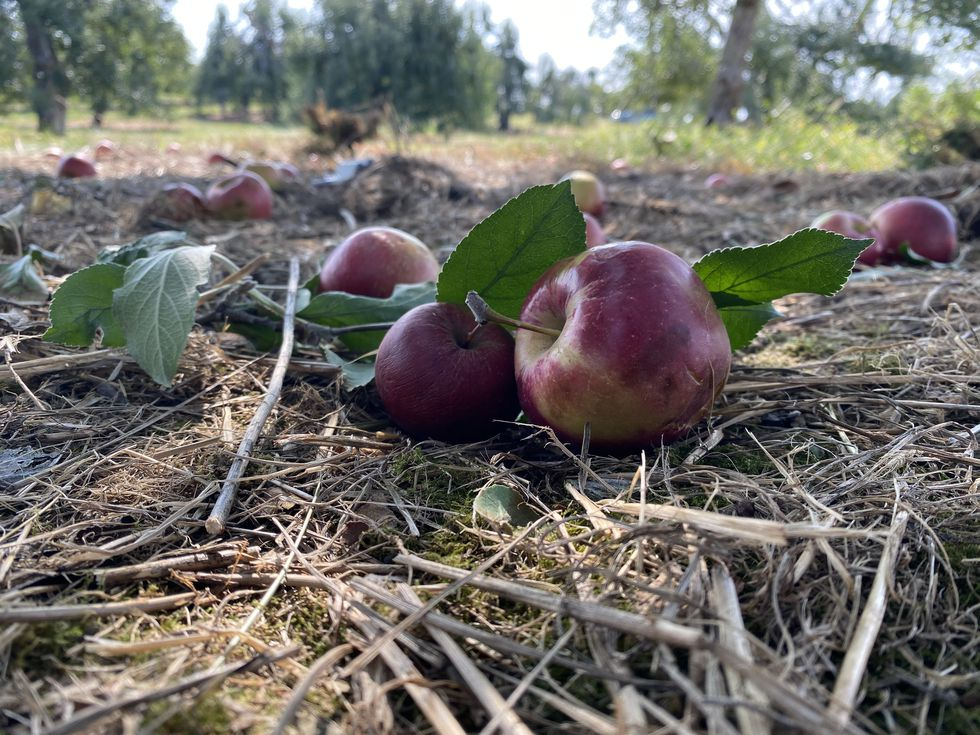 Freshly fallen apples sit underneath a tree at MacQueen Orchards.