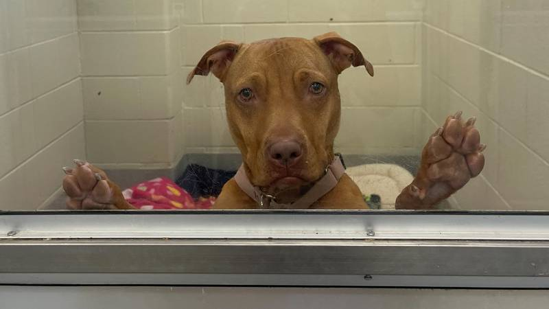 The Toledo Humane Society is trying to find a forever home for Dorito, a 2-year-old dog that's...