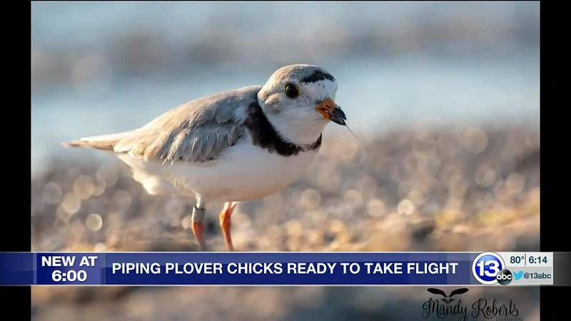 They are the first plover chicks to hatch in Ohio in 83 years