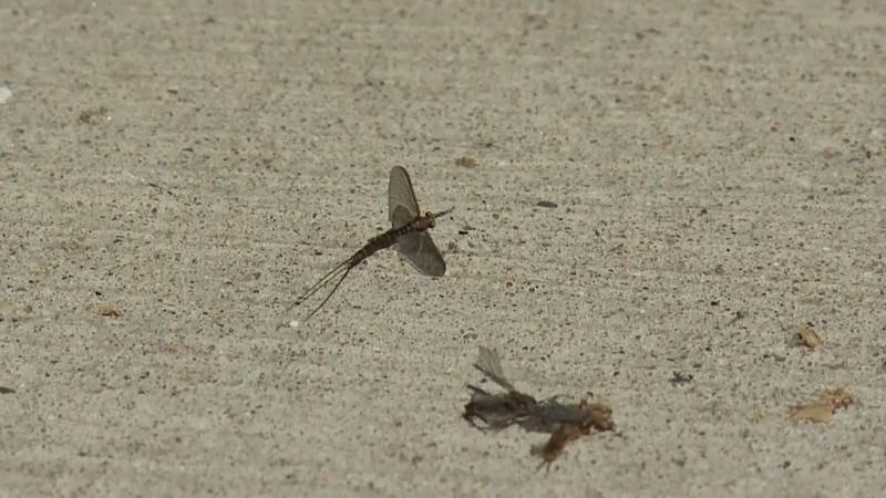 For some reason, mayflies come every June.
