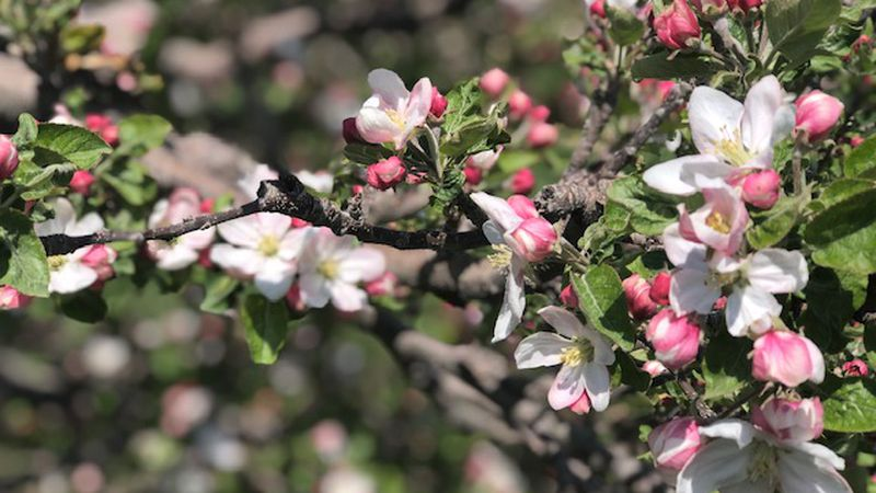 MacQueen Orchards will have crews in the orchards overnight using things like wind machines and...
