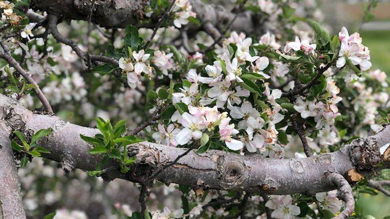 A hard freeze last week threatened the peach and apple crops