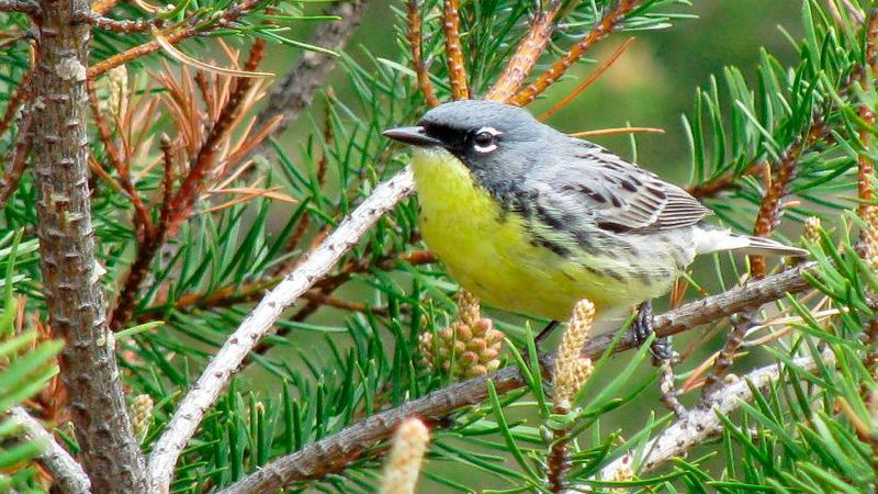 FILE - This May 19, 2008, file photo shows a Kirtland's warbler, an endangered songbird that...