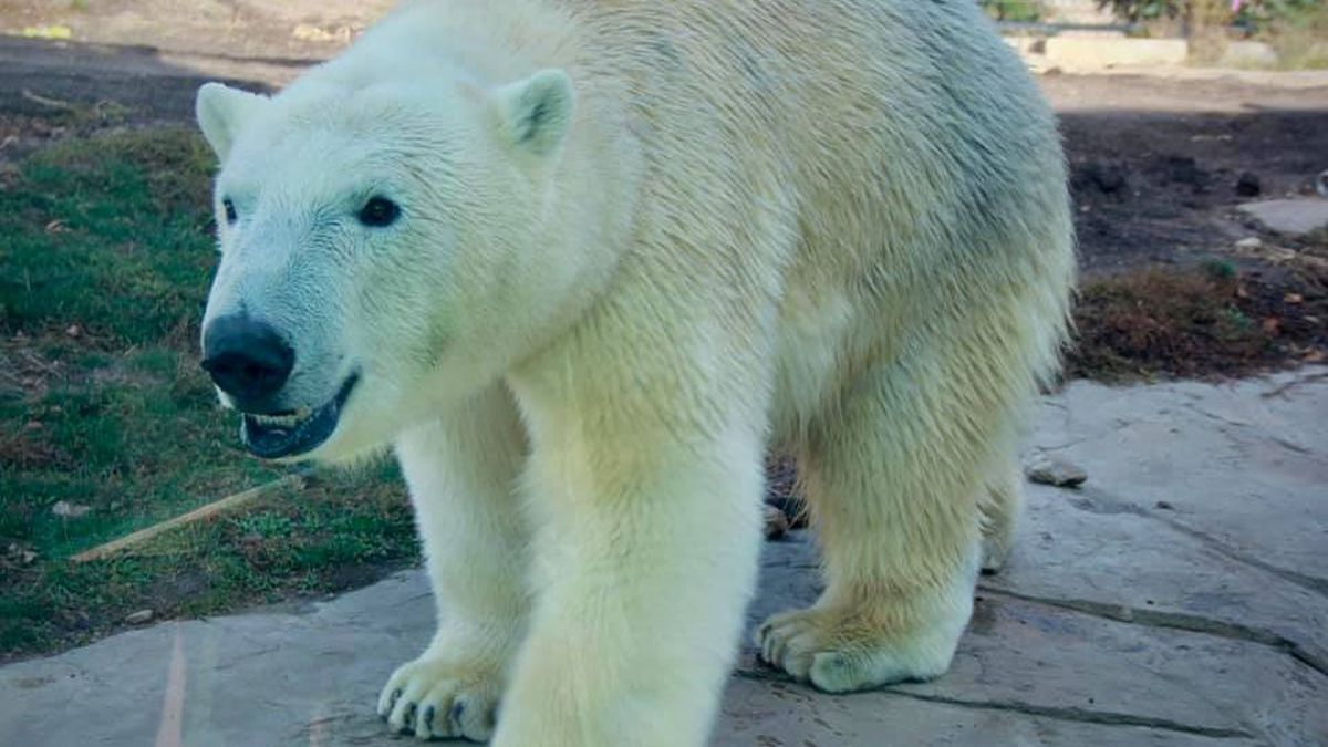 "The Henry Vilas Zoo debuts its new polar bear, ""Borealis,"" on Nov. 18, 2020."