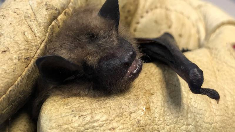 Wildlife experts say a very small portion of the bat population gets the virus