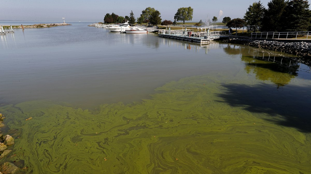 Algae floats in the water at the Maumee Bay State Park marina in Lake Erie in Oregon, Ohio, on...