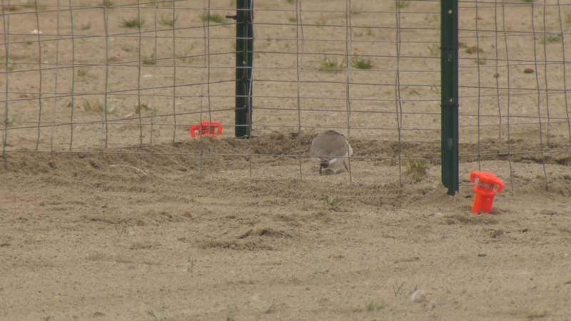 It is the first documented nesting pair in Ohio in 83 years