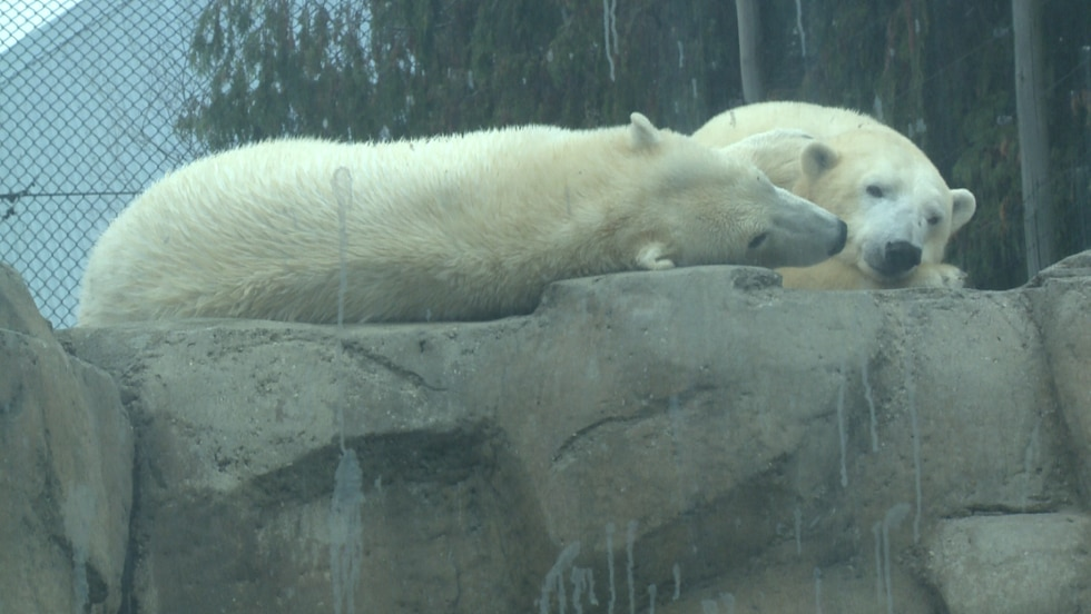 Bo the polar bear rests on a rock with his mother, Crystal. Bo is being paired with a female...