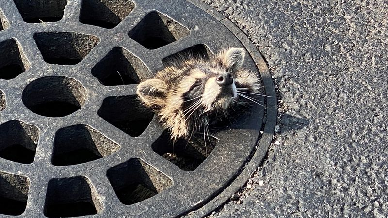 A raccoon is stuck in a parking lot storm drain in Maumee
